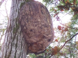 Maine Tree Growth